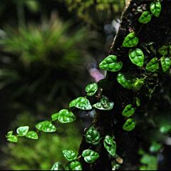 Ficus pumila var. minima