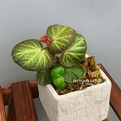 Begonia ' Bonita Shea '