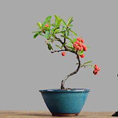 Firethorn Bonsai ( Pyracantha coccinea )