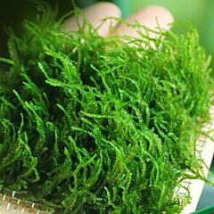 """Flame Moss (Taxiphyllum sp. """"Flame"""")"""
