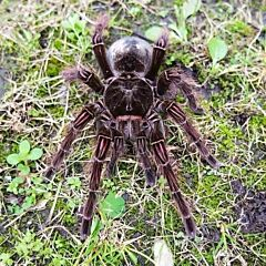 Goliath Bird Eating Tarantula (Theraphosa blondi)