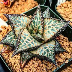 Venstertjie (Haworthia venosa ssp. tessellata)
