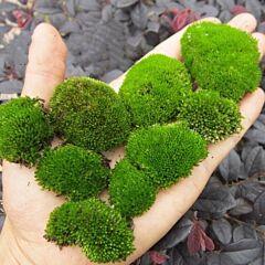 Herb of Cord Moss ( Funaria hygrometrica )