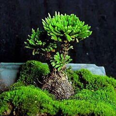 Herba Selaginellae(Selaginella tamariscina )