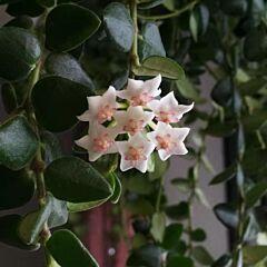 Hoya chinghungensis