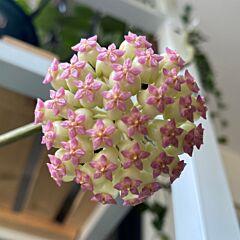 Hoya cv. patcharawalai
