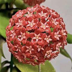 Hoya ilagiorum