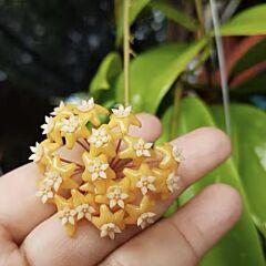 Hoya ilagiorum sp.yellow