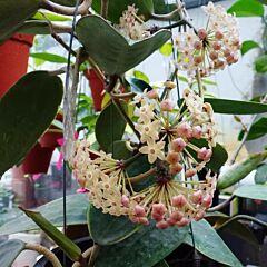 Hoya macrophylla variegated