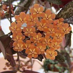Hoya sigillatis