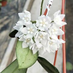 Hoya thomsonii ' White flower '