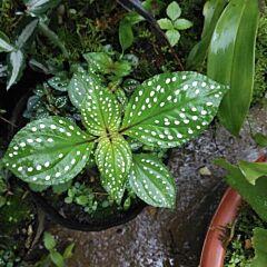 Sonerila sp. green