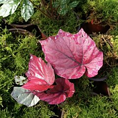 Begonia sp all pink