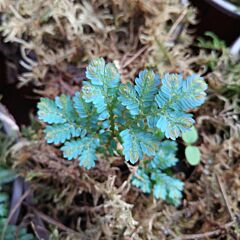 Rainbow Spikemoss (Selaginella uncinata)