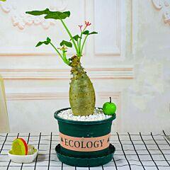 Buddha Belly Plant (Jatropha podagrica)