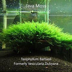 Java Moss (Taxiphyllum barbieri)
