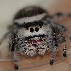 Regal Jumping Spider (Phidippus regiu)