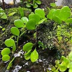 Lemmaphyllum microphyllum