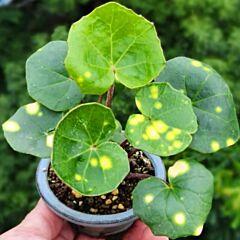 Leopard Plant ( Farfugium japonicum ' Aureomaculatum ' )