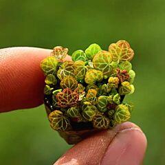 Micro Strawberry Begonia (Saxifraga stolonifera) | Terrarium Plant