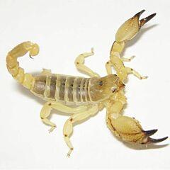 Middle East Gold Scorpion (Scorpio maurus)