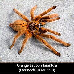 Orange Baboon Tarantula (Pterinochilus murinus)