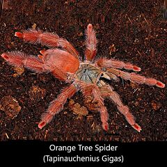 Orange Tree Spider (Tapinauchenius gigas)