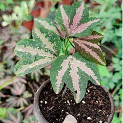 Tri-colored Passion Vine ( Passiflora trifasciata )