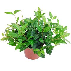 Peperomia dahlstedtii