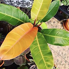 Philodendron ' Prince of Orange '