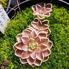 Butterworts(Pinguicula ehlersiae)