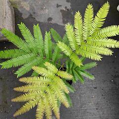 Everfresh Tree ( Pithecellobium confertum )