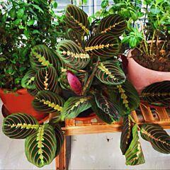Prayer Plant ( Maranta leuconeura var.erythroneura )