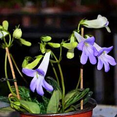 Chirita Yungfuensis ( Primulina yungfuensis )