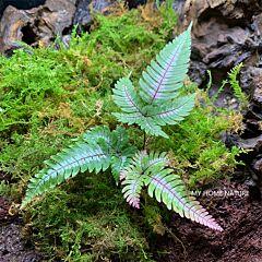 Pteris Blumeana (Pteris aspericaulis var. tricolor)
