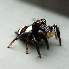 Oriental Jumping Spider (Ptocasius strupifer)