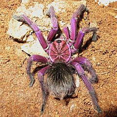 Purple Bloom Tarantula (Pamphobeteus sp machala)