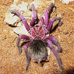 Purple Bloom Tarantula (Pamphobeteus sp machala)
