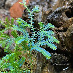 Rainbow Spikemoss (Selaginella uncinata)