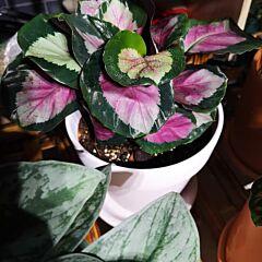 Calathea 'Rosy' (Calathea roseopicta)