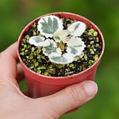 Strawberry Begonia ' Tricolor ' ( Saxifraga stolonifera Var. )