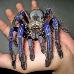 Singapore Blue Tarantula (Lampropelma violaceopes)