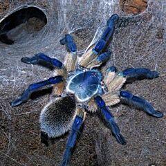 Socotra Island Blue Baboon Tarantula (Monocentropus balfouri)
