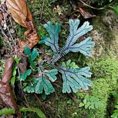 Green Peacock Spikemoss (Selaginella uncinata)