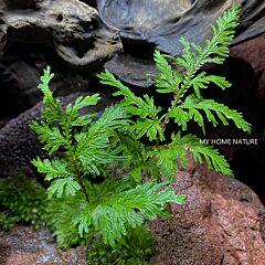 Spikemoss (Selaginella moellendorffii)
