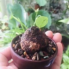 Stephania cepharantha hayata