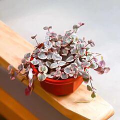 String of Hearts (Ceropegia woodii varieg)