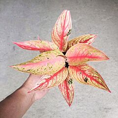 Aglaonema Widuri | House Plant