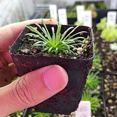 Trigger plant(Stylidium petiolare)