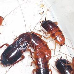 Turkestan Cockroach (Blatta lateralis)